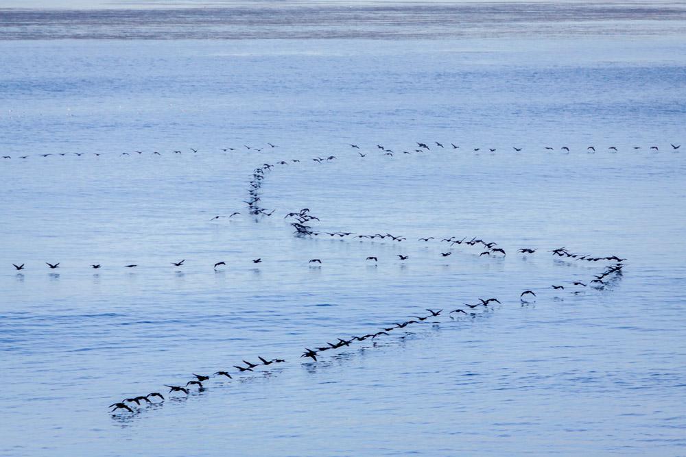 BIRDS-FORMATION-CARLSBAD-SAN-DIEGO-CA