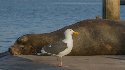 SEALS-SEAGULL-OCEANSIDE-SAN-DIEGO-CA