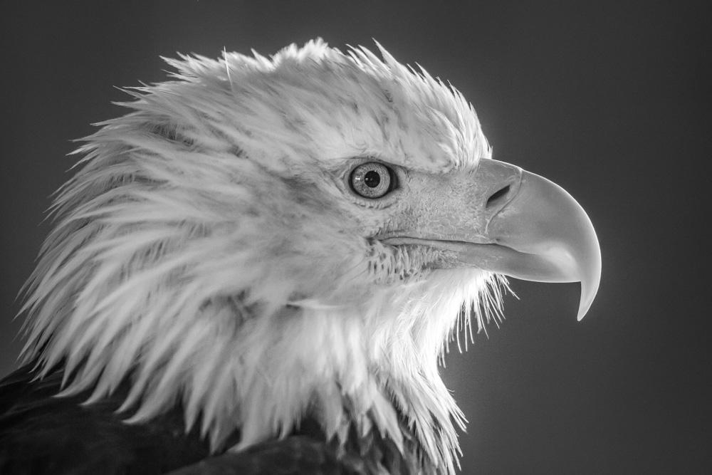 EAGLE-ALASKA-Edit