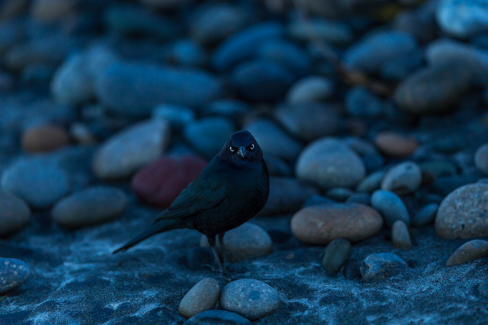 BIRDS-LA-JOLLA-SAN-DIEGO-CA