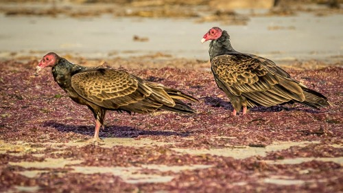 TURKEY-VULTURES-SAN-DIEGO-NORTH-COUNTY-CA