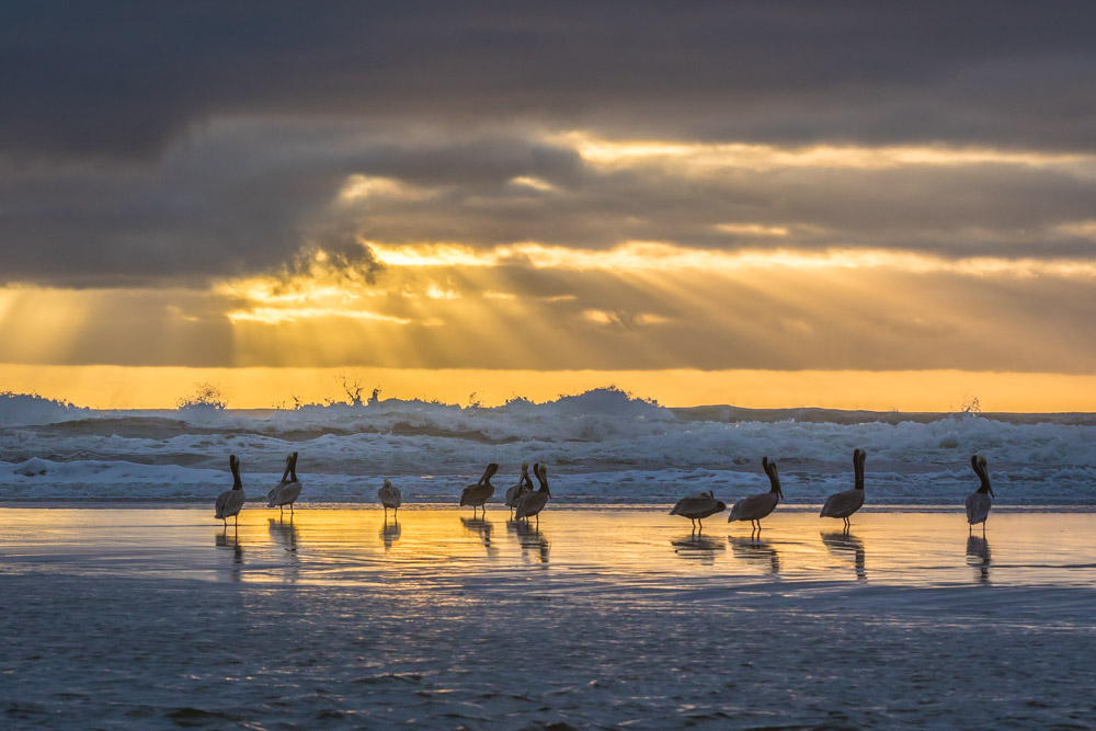 PELICANS-NORTH-COUNTY-SAN-DIEGO-CA