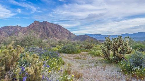DESERT-WILDFLOWERS-CA