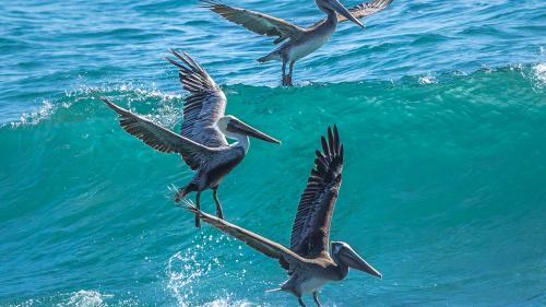 Pelicans-Carllsbad-San-Diego-CA