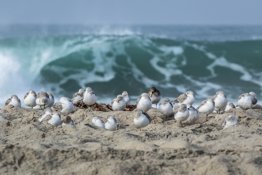 Sandpipers-North-County-San-Diego-CA