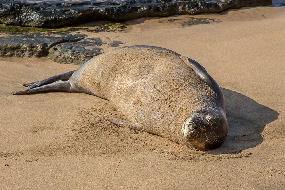 Seal-Hawaii