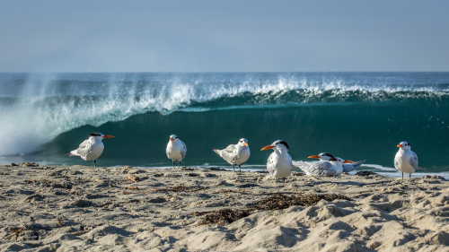 ROYAL-TERNS-CARLSBAD-SAN-DIEGO-CA