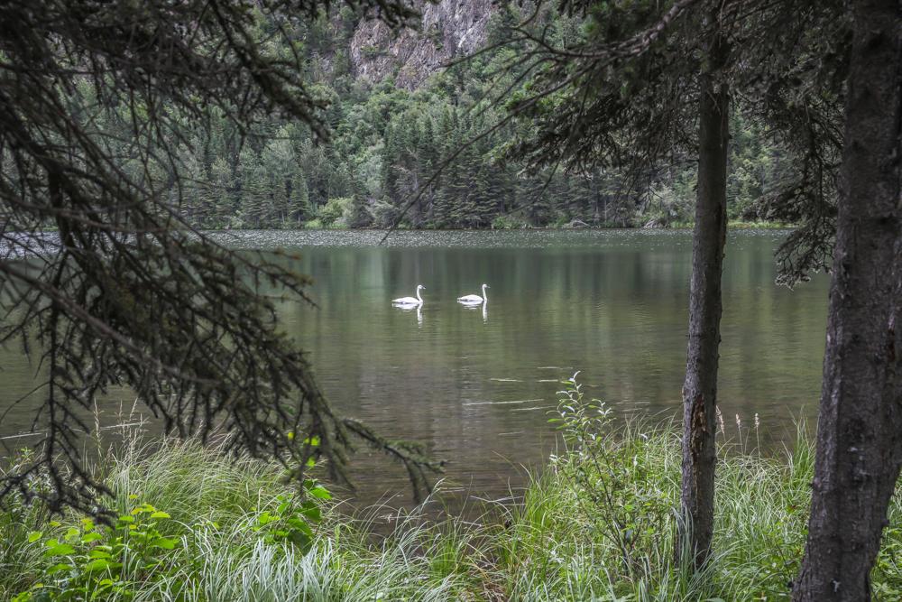 ALASKA-TRUMPETER-SWANS-LAKE