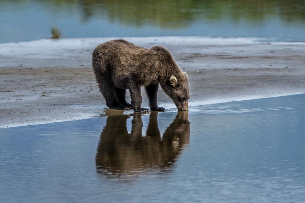 ALASKA-BEAR
