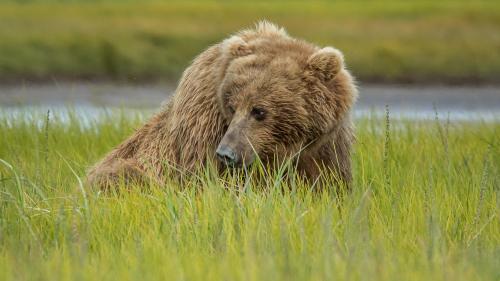 BEAR-ALASKA