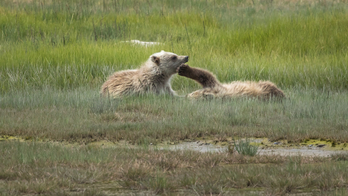 BEARS-ALASKA