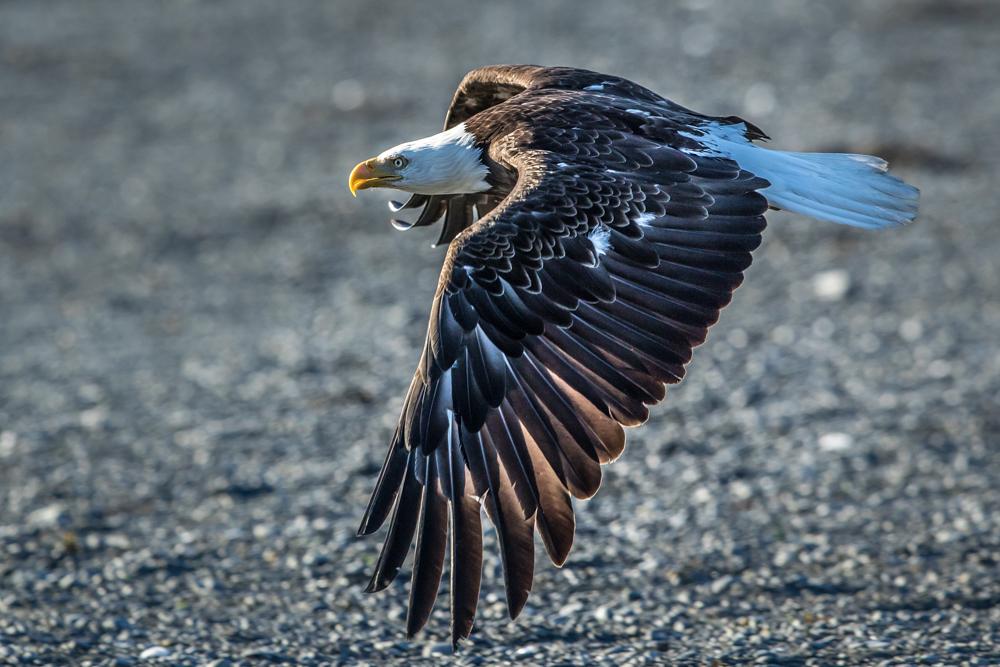 EAGLE-ALASKA