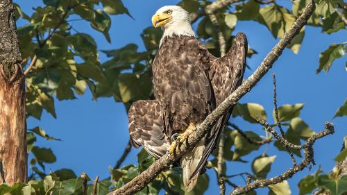 ALASKA-EAGLE