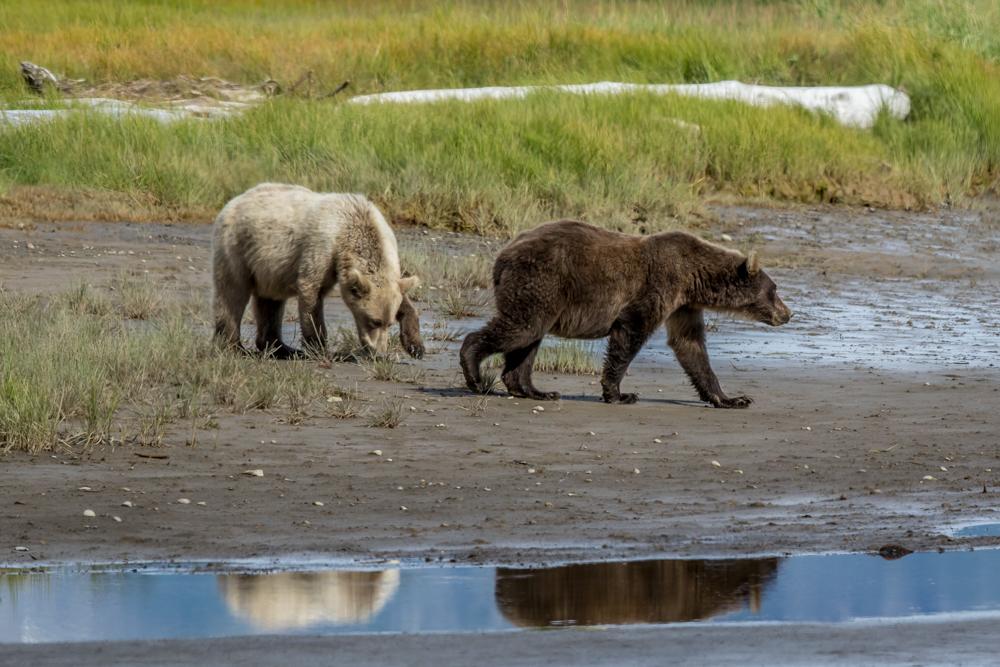 ALASKA-BEARS