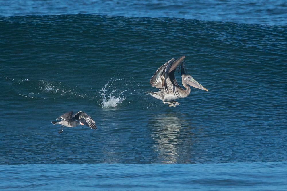 PELICANS-SAN-DIEGO-NORTH-COUNTY-CA