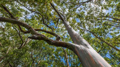 RAINBOW-EUCALYPTUS-TREES-MAUI
